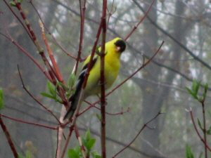 American Goldfinch - 300 x 225