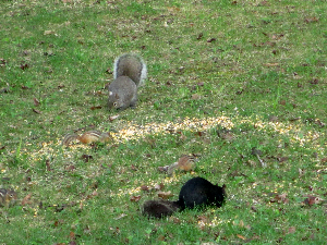 Black & Gray Squirrels & Chipmunks - 300 x 225