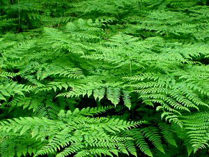 Bracken Ferns - 300 x 225