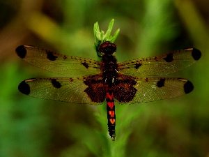 Calico Pennant Dragonfly - Male - 300 x 225