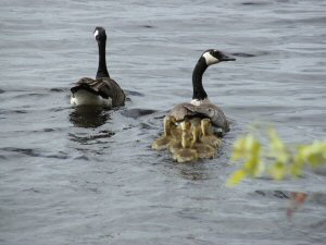 Canada Geese with Goslings - 300 x 225
