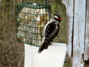 Downy Woodpecker - 300 x 225