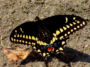 Eastern Black Swallowtail Butterfly - 300 x 225