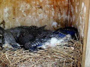 Eastern Bluebird Chicks in Nestbox - 300 x 225