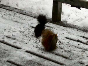 Fox Squirrel & Black Squirrel - 300 x 225