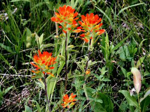 Indian Paintbrush - 300 x 225