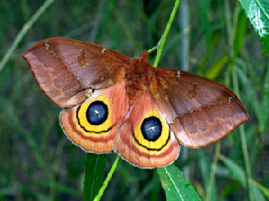 Io Moth - Female - 300 x 225