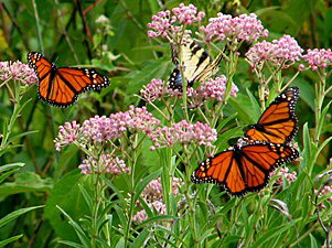 Monarch Butterflies on Common Milkweed - 300 x 225