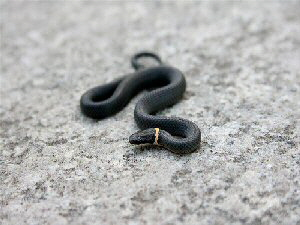 Northern Ring-neck Snake - 300 x 225