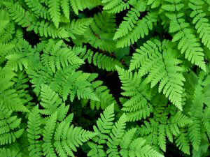 Oak Ferns - 300 x 225