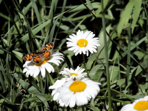 Pearl Crescent Butterfly on Oxeye Daisy - 300 x 225
