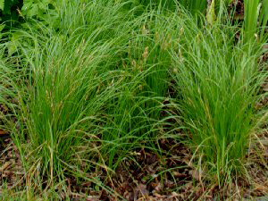 Pennsylvania Sedge - 300 x 225