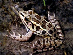Pickerel Frog - 300 x 225