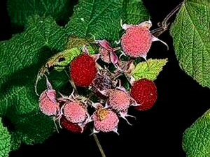 Thimbleberries - 300 x 225