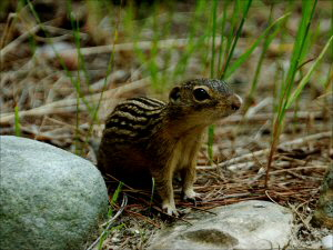 Thirteen-lined Ground Squirrel - 300 x 225