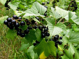 Wild Black Currants - 300 x 225