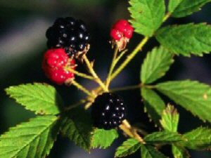 Wild Black Raspberries - 300 x 225