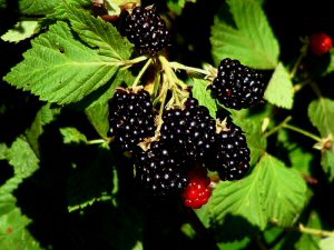 Wild Blackberries - 300 x 225