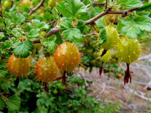 Wild Gooseberries - 300 x 225