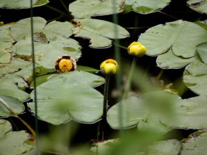 Yellow Pond Lily - 300 x 225